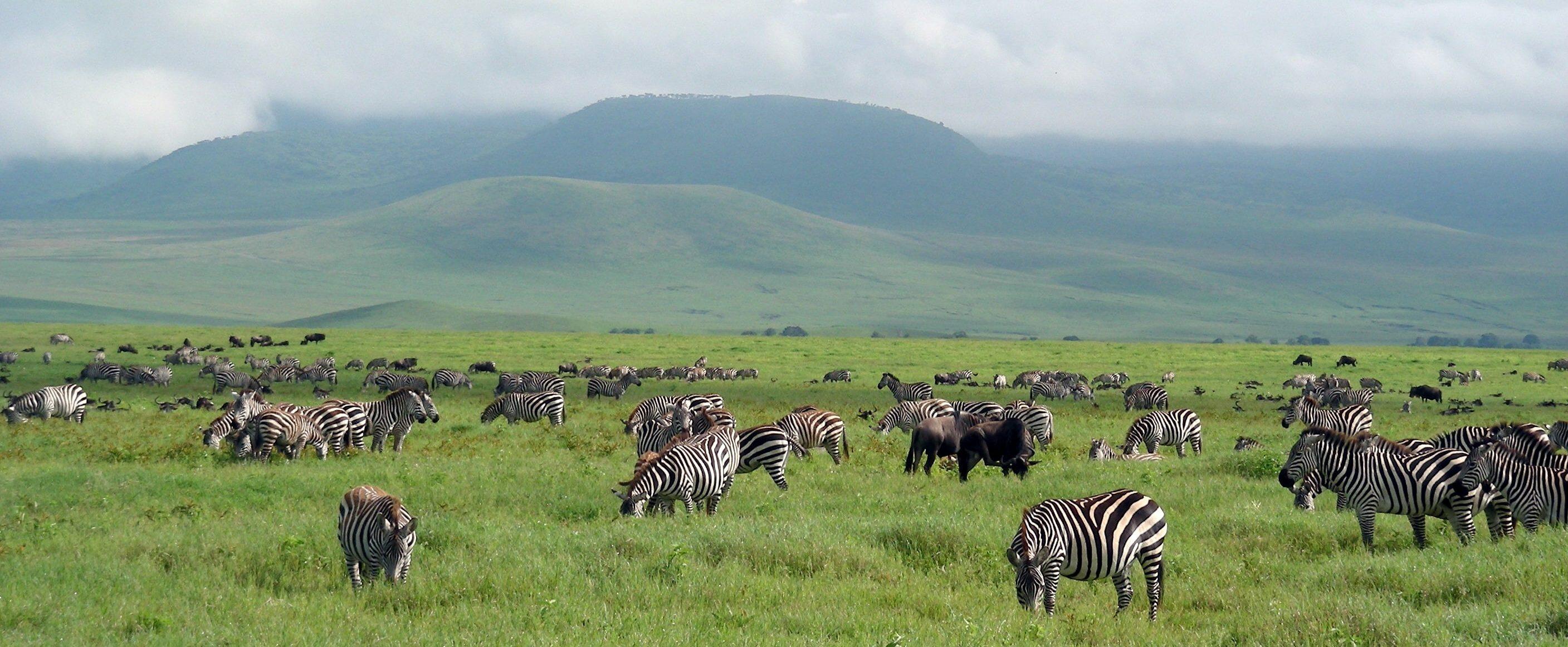 Zebraer er ikke et sjældent syn når man tager på safari i tanzania