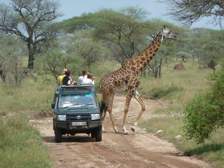 En giraf krydser vejen på en safari i tanzania